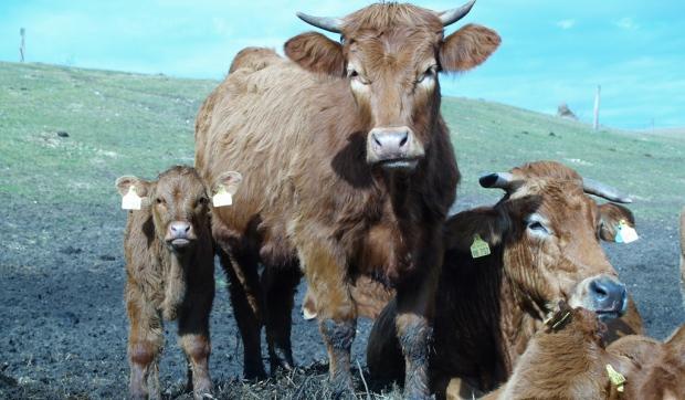 Gut Peetzig - Kuhfamilie